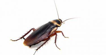 طرق طبيعية من أجل التخلص من الصراصير في منزلك بسرعة وسهولة