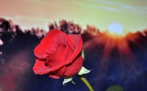 تفسير حلم الورد الاحمر
